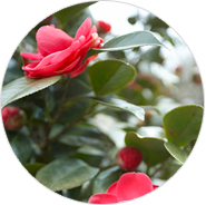 Flower of City Camellia